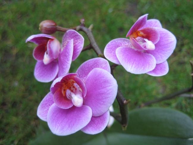 Orchidee,