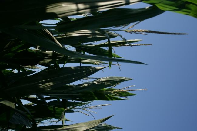 Kornähren, Detail in einem Kornfeld, im Gegenlicht