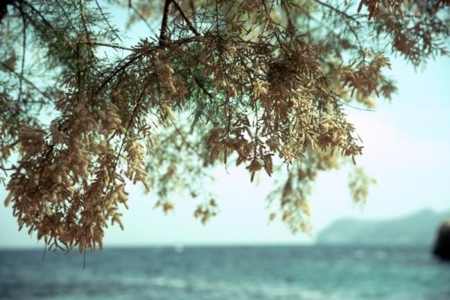 Pine tree semen?,