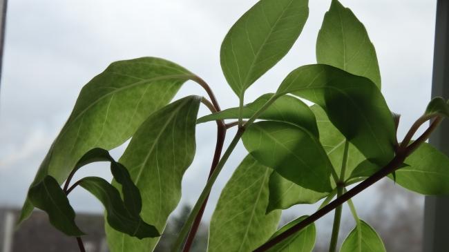 Maserung von Blättern einer Zimmerpflanze,