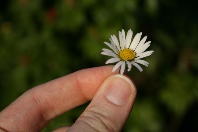 Gänseblümchen vor grünem Hintergrund, zwischen den Fingerspitzen