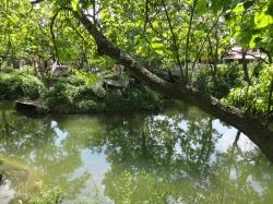 Mangrove tree and lake...